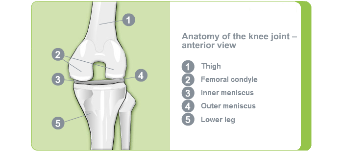 Anatomy Knee Joint