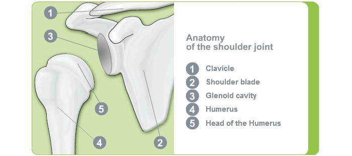 Anatomy Shoulder Joint